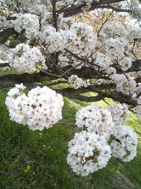 京都御苑20090411 16
