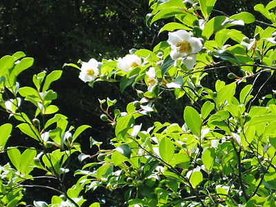 東林院 沙羅双樹11