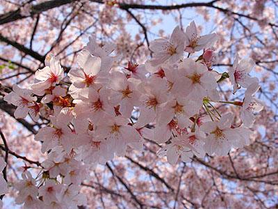 「FOLEO」駐車場の桜
