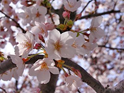 家から一番近い 桜