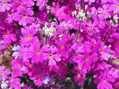 春のお花 ①