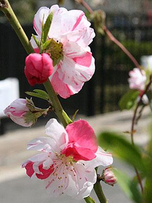 春のお花 ③