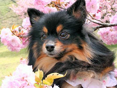 桜とクレア ①