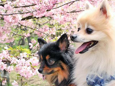 桜に見入る エル&クレ