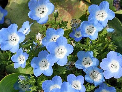 青い お花