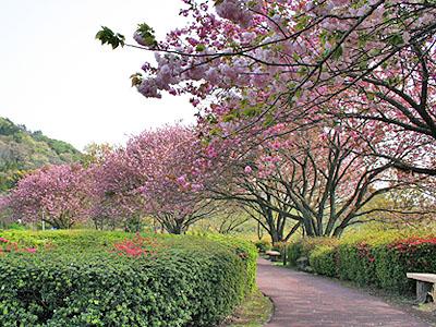 小室山公園の 桜