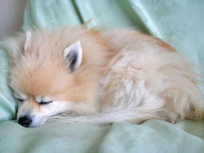 ソファで熟睡の エルモ
