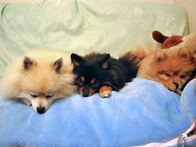 寝袋でおネンネ 3ポメズ