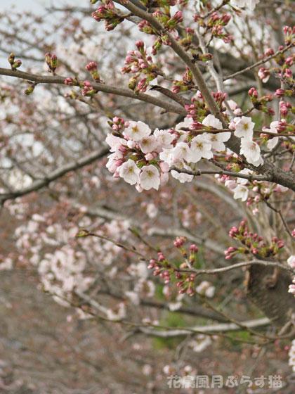 ソメイヨシノの咲き具合
