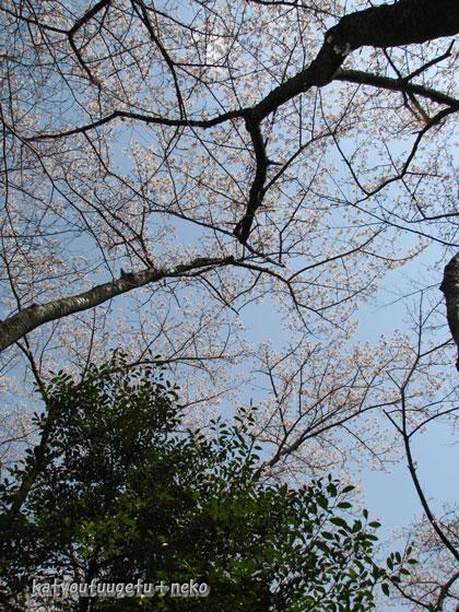 山の桜ソメイヨシノ