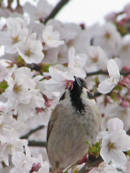 桜は美味しい~