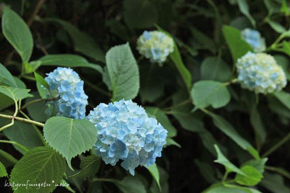 ブルーのアジサイ2