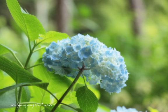 ブルーのアジサイ3