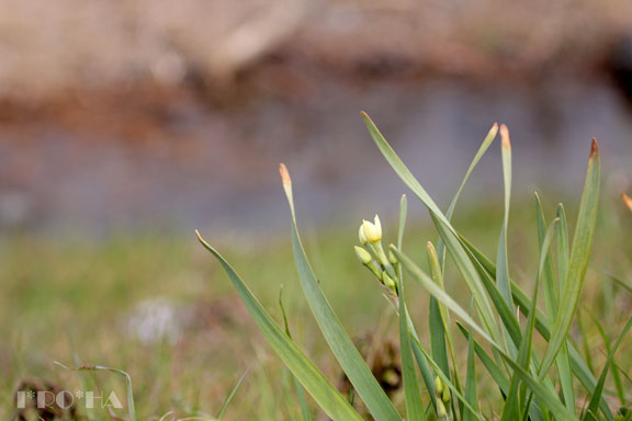 水仙つぼみ