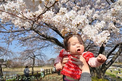 hanami201207.jpg