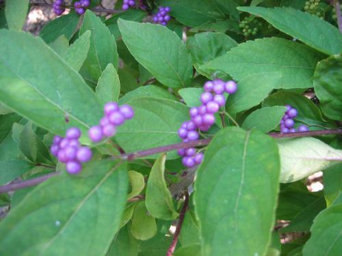 紫式部 紫の実 縮小ph