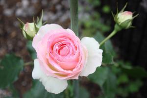 新しいつる薔薇