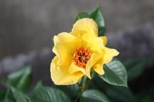 つる薔薇・黄色