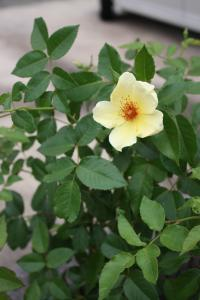 梅雨の間の薔薇