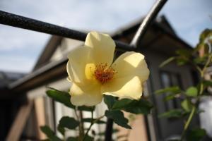 黄色い薔薇4