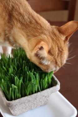 猫草とみい