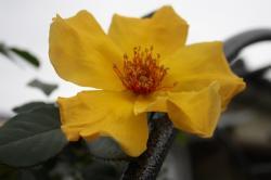 黄色バラ1号