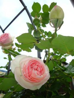 250八重薔薇