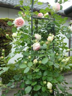 八重薔薇全体