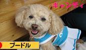 「日本ブログ村 犬ブログ プードルへ」