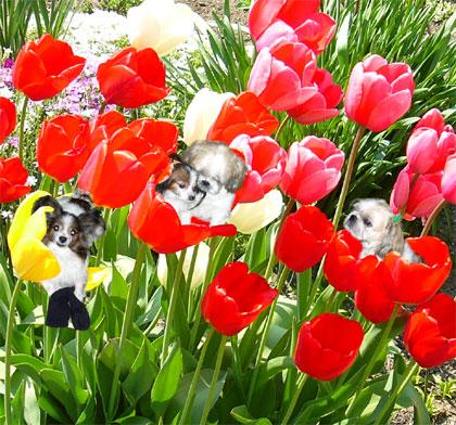 tulipin01.jpg
