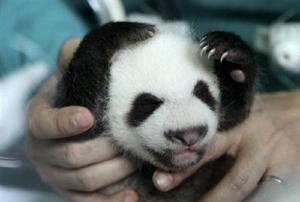 20090703-パンダ赤ちゃん