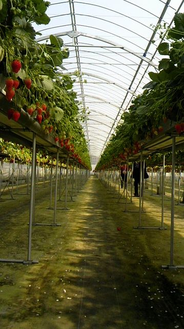 高説栽培イチゴ