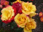 色んな色のバラ