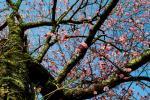 sakura8_convert_20090513072031.jpg