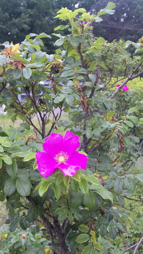 旭山動物園で咲いていたハマナス