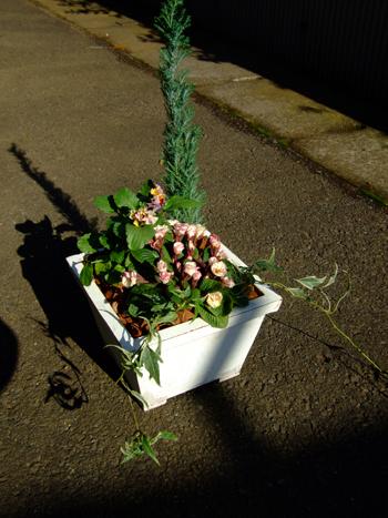 冬から春の寄せ植え