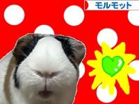 にほんブログ村 小動物ブログ モルモットへ