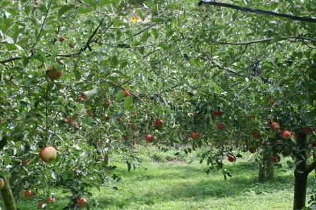 丸純りんご園(1)