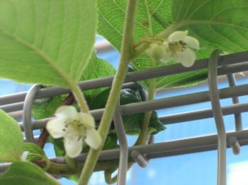 サルナシの花