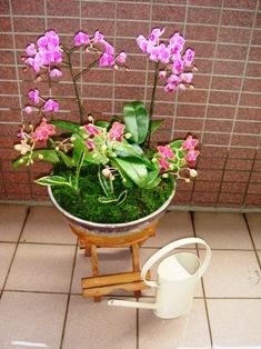 蘭の寄せ植え