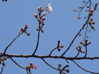 3/23の桜