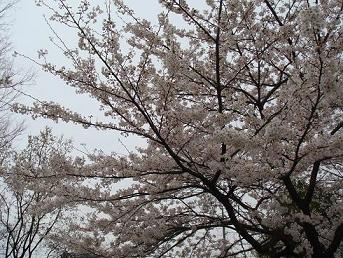 今日の桜1