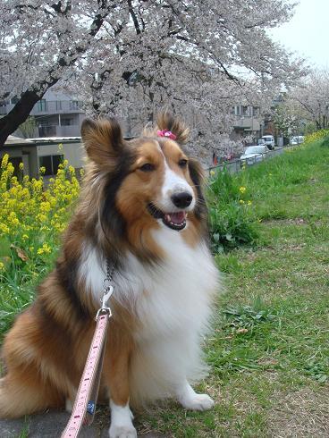 菜の花と桜っていい感じ