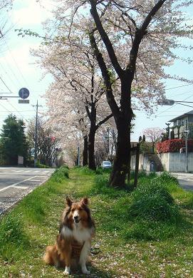 まだ見られる桜