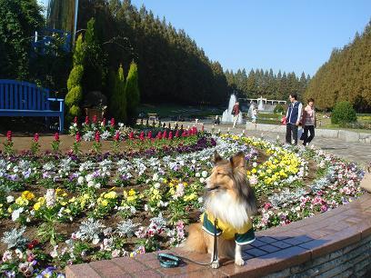 シェルティーに会える公園、大好き!