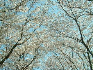 20090407sakura.jpg
