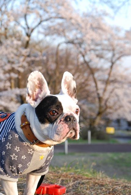 桜に興味がない犬