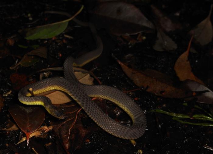 アマミタカチホヘビ
