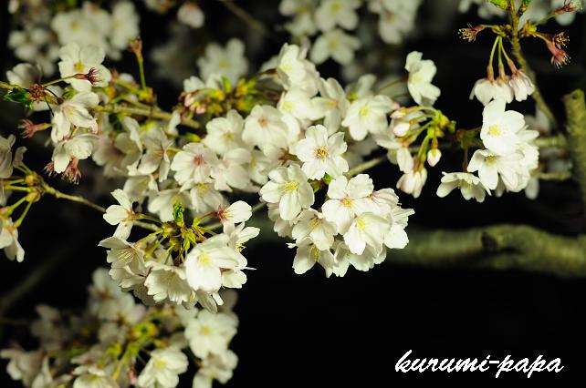 桜 085のコピー