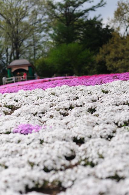 芝桜 066